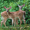 Fawns Aug 2018-4333
