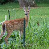 Fawns Aug 2018-4328