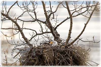 Eagle - waiting for the hatchlings
