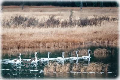 Turnagain swan family - all in a row