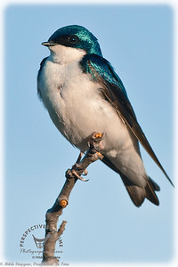 Blue Tree Swallow