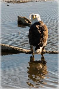 Beluga slough eagle - just a tad frazled