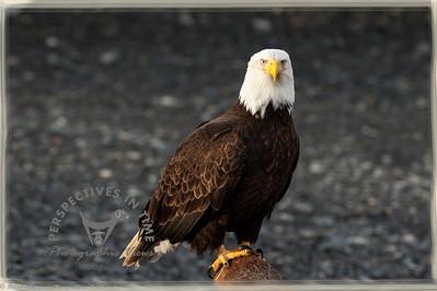 Homer Spit - Eagle posing