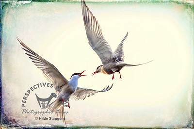 Arctic Terns - mid-air discussion - digital overlay2