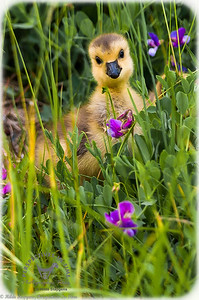 Goosling in the flowers