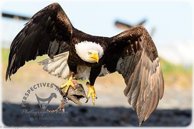 Homer Spit Eagle - I got your head