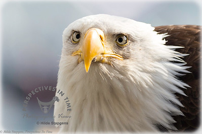 Homer Eagle - up close and personal