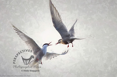 Arctic Terns - mid-air discussion - digital painting overlay