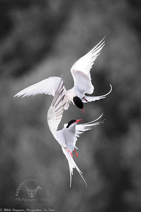 Arctic Terns - acrobats in the sky