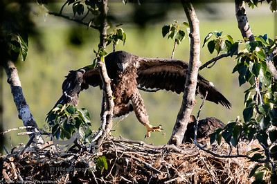 Eagle chick - jumping for joy