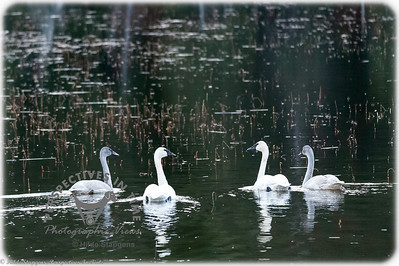 Turnagain Swan family