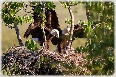 Eagle parents delivering the food