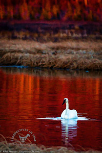 Swan in the evening red - digital painting