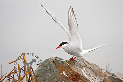 Arctic Tern - on a rock