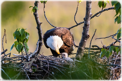 Eagle - feeding time