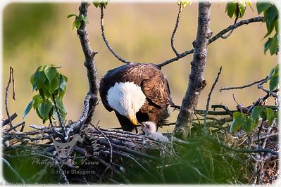 Eagle - feeding time