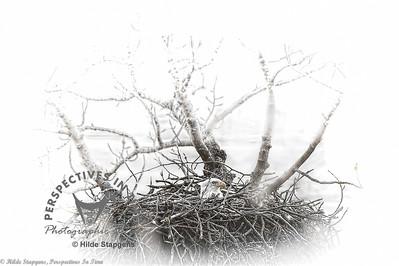 Eagle on nest - digital painting