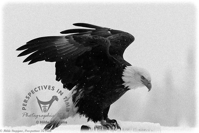 Homer Eagle - in winter - BW