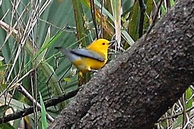 Prothonotary Warbler, Wambaw Swamp, Charleston SC
