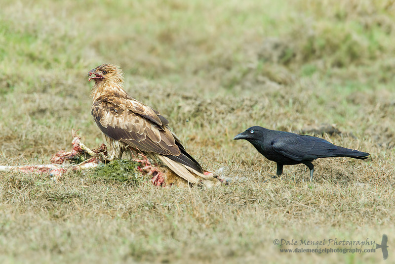 Whistling Kite (Haliastur sphenurus) and Torresian Crow (Corvus orru)