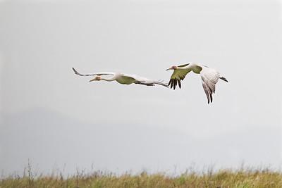 Brolga (Grus rubicundus) - Flying