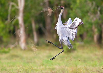 Brolga (Grus rubicundus) - Breeding/Courtship Display