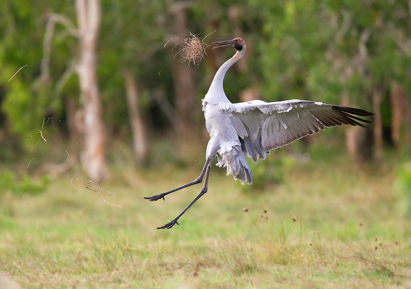 Brolga <i>(Grus rubicundus)</i> - Breeding/Courtship Display