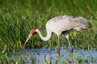 Brolga (Grus rubicundus) - Feeding