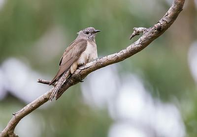 Brush Cuckoo (Cacomantis variolosus)