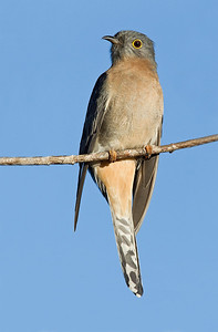 Fan-tailed Cuckoo (Cacomantis flabelliformis)