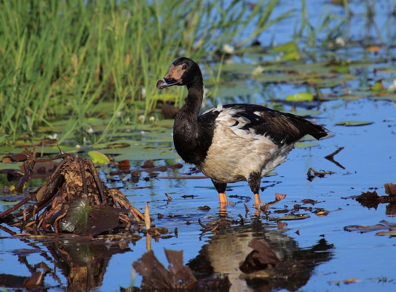 Magpie Goose <i>(Anseranas semipalmata)</i>