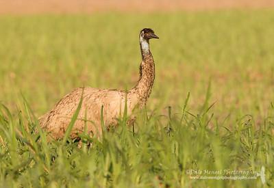 Emu in Sugar Cane Field (Dromaius novaehollandiae)