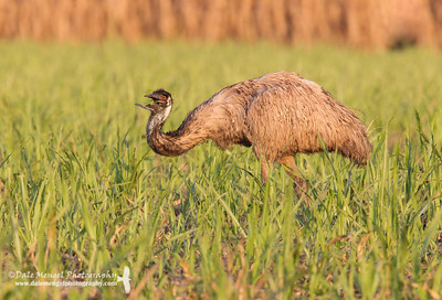 Emu Feeding in Sugar Cane Field (Dromaius novaehollandiae)
