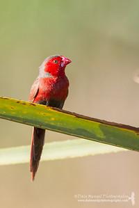 Crimson Finch (Neochmia phaeton iredalei)
