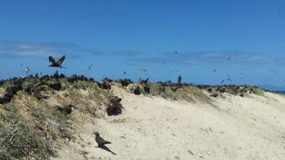 Michaelmas Cay - a sandy island in the Great Barrier Reef off Cairns. The breeding birds in this video are Sooty Tern, Common Noddy, Black Noddy and a few Brown Booby.