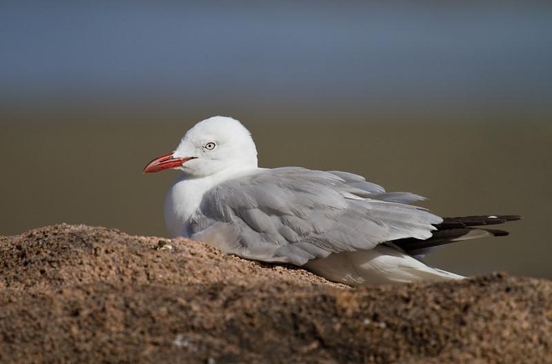 Silver Gull <i>(Chroicocephalus novaehollandiae)</i>