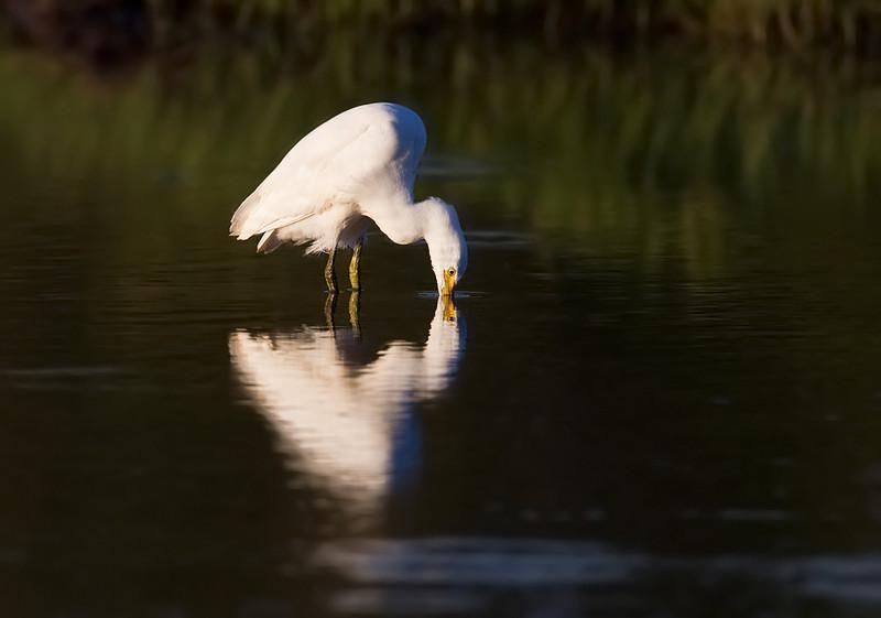 Intermediate Egret <i>(Ardea intermedia)</i>