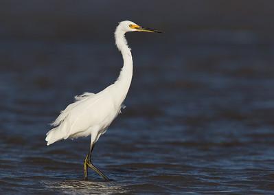 Eastern Reef Egret (White Morph) (Egretta sacra)