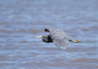 Eastern Reef Egret (Egretta sacra) - Dark Morph in Flight