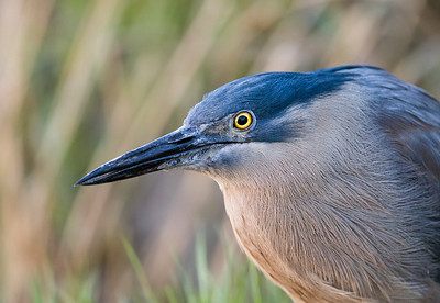 Striated Heron Portrait (Butorides striatus)