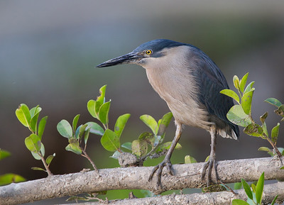 Striated Heron (Butorides striatus)