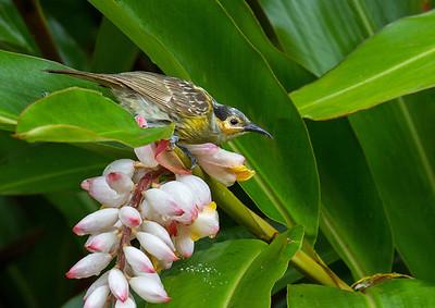 Macleay's Honeyeater (Xanthotis macleayana)