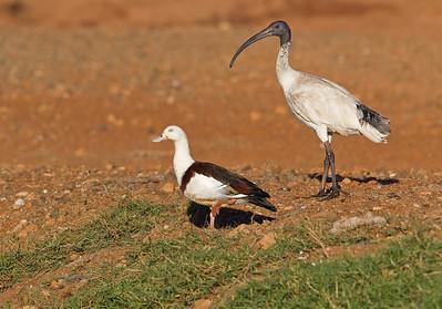 Radjah Shelduck (Tadorna radjah) and Australian White Ibis (Threskiornis molucca)