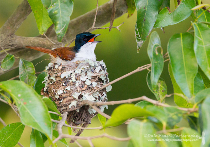 Shining Flycatcher - Female (Myiagra alecto)