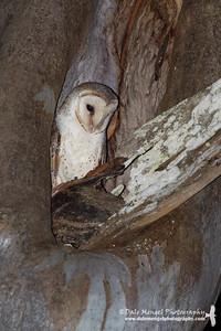 Eastern Barn Owl (Tyto javanica delicatula)