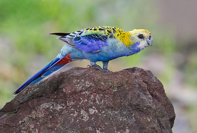 Pale-headed Rosella (Platycercus adscitus palliceps)
