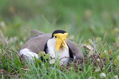 Masked Lapwing (Vanellus miles novaehollandiae) Nesting