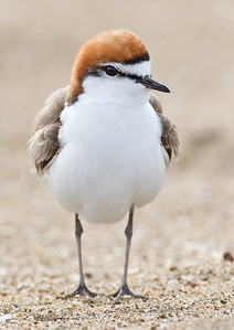 Red-capped Plover (Charadrius ruficapillus) Male