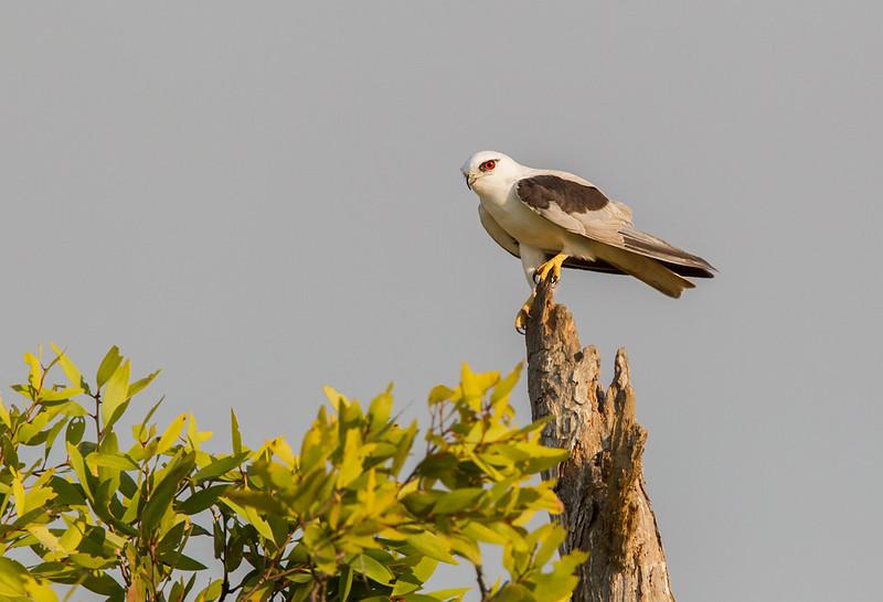 Black-shouldered Kite <i>(Elanus axillaris)</i>