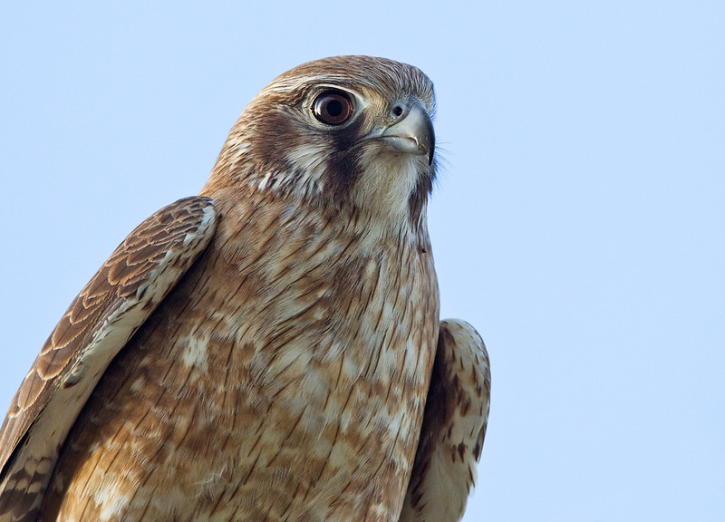 Brown Falcon <i>(Falco berigora)</i>